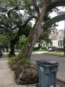 Huge tree, Garden District, New Orleans