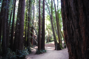 Redwoods, Sausalito, California